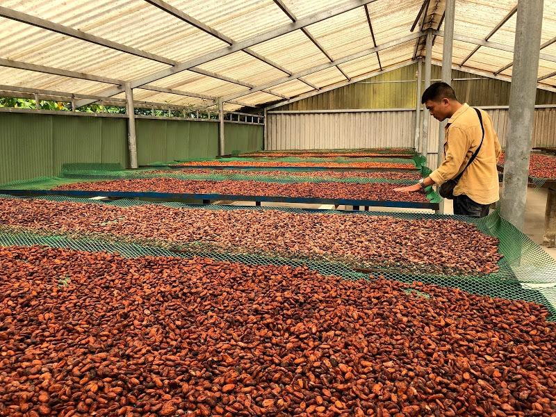 Quy trình phơi hạt cacao đạt tiêu chuẩn UTZ Nhật bản